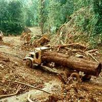 quand l'eucalyptus tue l'amazonie